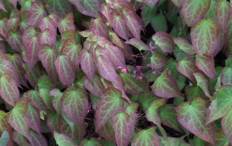 Epimedium_grandiflorum_a4