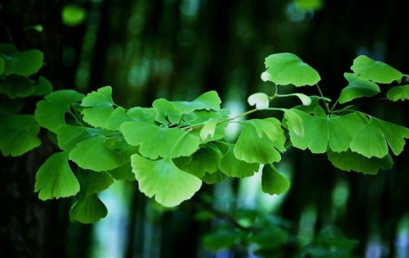 Ginkgo_biloba_leaves-Plant_wallpaper_medium